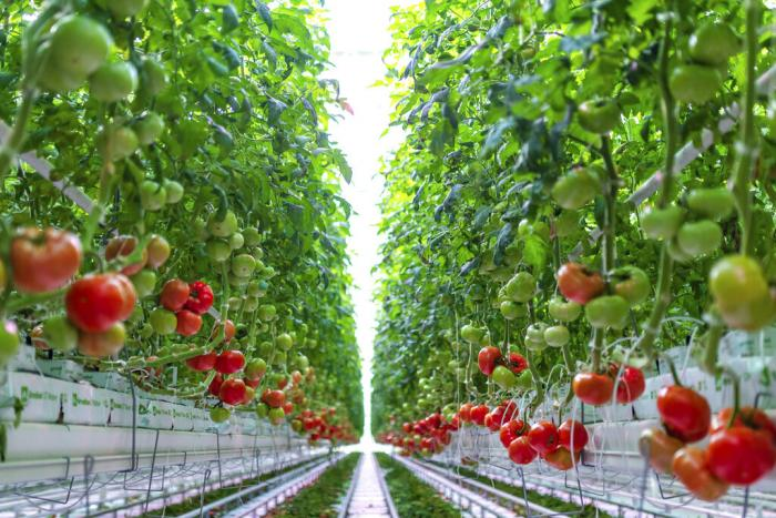 This photo provided by AppHarvest shows tomatoes being grown in their Morehead, Ky. facility.